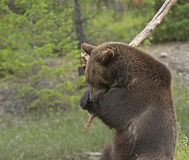 Grizzly bear swinging large branch Royalty Free Stock Photo