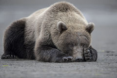 Grizzly bear taking a power-nap. Grizzly bear taking a power-nap at the Hallo Bay beach, after a fishing session. Photo taken on August, 2016, in Alaska Royalty Free Stock Image
