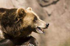 Grizzly Bear Teeth. Grizzly Bear Portrait showing his teeth royalty free stock photo