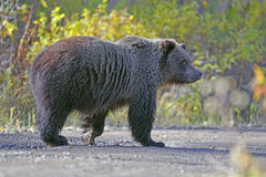 Grizzly Bear. Three year old walking on forest road, British Columbia, CAN royalty free stock photography