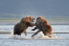 Grizzly Bear. Two Grizzly Bears fighting in water Royalty Free Stock Photography