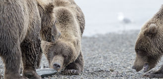 Grizzly Bear and two cubs. Two cubs begging for mother's catch, a big Salmon.   Photo taken on August, 2016, Hallo Bay, Katmai National park, Alaska Royalty Free Stock Images