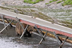 Grizzly Bear under fish ladder Stock Images
