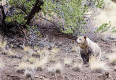 Grizzly bear under pine tree Royalty Free Stock Photography