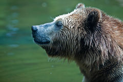 Grizzly Bear (Ursus arctos horribilis). Head shot of a Grizzly Bear sitting in water Stock Photos