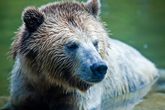 Grizzly Bear (Ursus arctos horribilis). Head shot of a Grizzly Bear sitting in water Stock Images