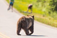 Grizzly Bear Ursus arctos horribilis Stock Image