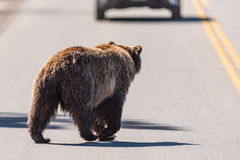 Grizzly Bear Ursus arctos horribilis Stock Photography