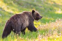 Grizzly Bear Ursus arctos horribilis Royalty Free Stock Photography