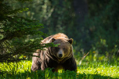 Grizzly Bear Ursus arctos horribilis Royalty Free Stock Images