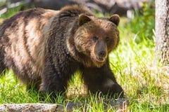 Grizzly Bear Ursus arctos horribilis Royalty Free Stock Image