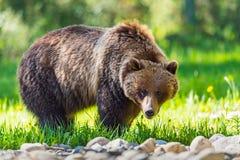 Grizzly Bear Ursus arctos horribilis Royalty Free Stock Photos