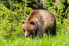 Grizzly Bear Ursus arctos horribilis Royalty Free Stock Photo