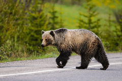 Grizzly Bear (Ursus arctos horribilis) Royalty Free Stock Images