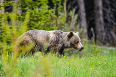 Grizzly Bear (Ursus arctos horribilis) Stock Photography