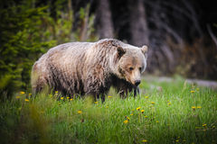 Grizzly Bear (Ursus arctos horribilis) Stock Photo