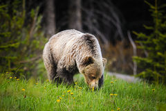 Grizzly Bear (Ursus arctos horribilis) Royalty Free Stock Photo