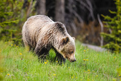 Grizzly Bear (Ursus arctos horribilis) Stock Images