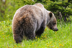 Grizzly Bear (Ursus arctos horribilis) Royalty Free Stock Image