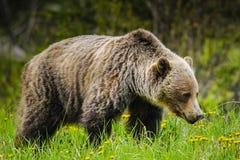 Grizzly Bear (Ursus arctos horribilis) Royalty Free Stock Photo