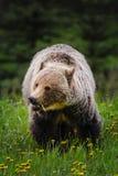 Grizzly Bear (Ursus arctos horribilis) Stock Photo