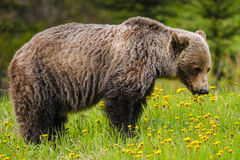 Grizzly Bear (Ursus arctos horribilis) Stock Images