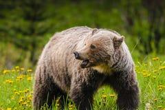 Grizzly Bear (Ursus arctos horribilis) Stock Photography