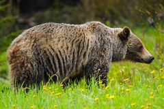 Grizzly Bear (Ursus arctos horribilis) Royalty Free Stock Photography