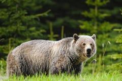Grizzly Bear (Ursus arctos horribilis) Stock Photos