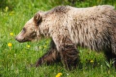 Grizzly Bear (Ursus arctos horribilis) Stock Image