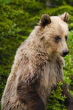 Grizzly Bear (Ursus arctos horribilis) Stock Photos