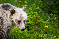 Grizzly Bear (Ursus arctos horribilis) Royalty Free Stock Photos