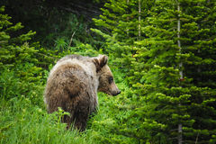 Grizzly Bear (Ursus arctos horribilis) Stock Image