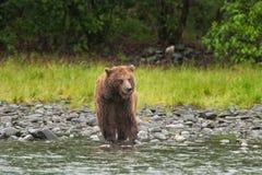 Grizzly bear, ursus arctos, silvertip bear, Alaska. Grizzly bear fishing on Russian river. Spring time. Alaska wildernes. Hungry bear. Fishing salmon. Fur, wet Stock Photos