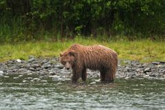 Grizzly bear, ursus arctos, silvertip bear, Alaska. Grizzly bear fishing on Russian river. Spring time. Alaska wildernes. Hungry bear. Fishing salmon. Fur, wet Royalty Free Stock Images