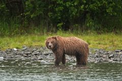 Grizzly bear, ursus arctos, silvertip bear, Alaska. Grizzly bear fishing on Russian river. Spring time. Alaska wildernes. Hungry bear. Fishing salmon. Fur, wet Royalty Free Stock Photo