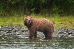 Grizzly bear, ursus arctos, silvertip bear, Alaska. Grizzly bear fishing on Russian river. Spring time. Alaska wildernes. Hungry bear. Fishing salmon. Fur, wet Royalty Free Stock Photos