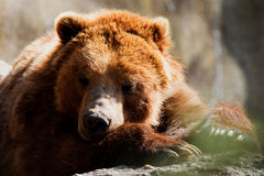 Grizzly bear Ursus arctos ssp. Napping in the sun Stock Photos
