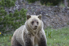 Grizzly Bear (Urus actors horribilis) Royalty Free Stock Image