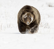 Grizzly bear with very long claws in deep snow during autumn Royalty Free Stock Photos
