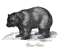 Grizzly bear, vintage engraving Stock Photo