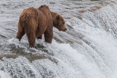 Grizzly Bear Waiting for Salmon Royalty Free Stock Images