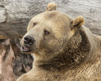 Grizzly Bear. Waiting by stream Stock Images