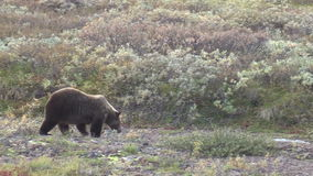 Grizzly Bear stock video footage