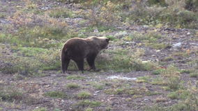 Grizzly Bear Walking stock video