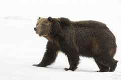 Grizzly bear walking on deep snow at beginning of spring. Time Stock Image