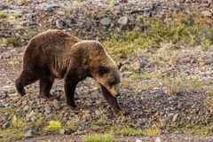 Grizzly Bear Walking on the Tundra Stock Image