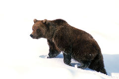 Grizzly bear walking in fresh snow (Ursus arctos), Alaska, Denal Royalty Free Stock Photo