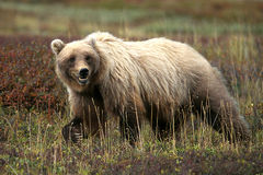 Grizzly bear walking in grass and tundra (Ursus arctos), Alaska, Royalty Free Stock Photo