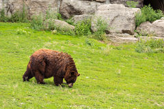 GRIZZLY BEAR WALKING Royalty Free Stock Photography